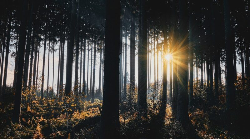 sunlight, trees, silhouettes